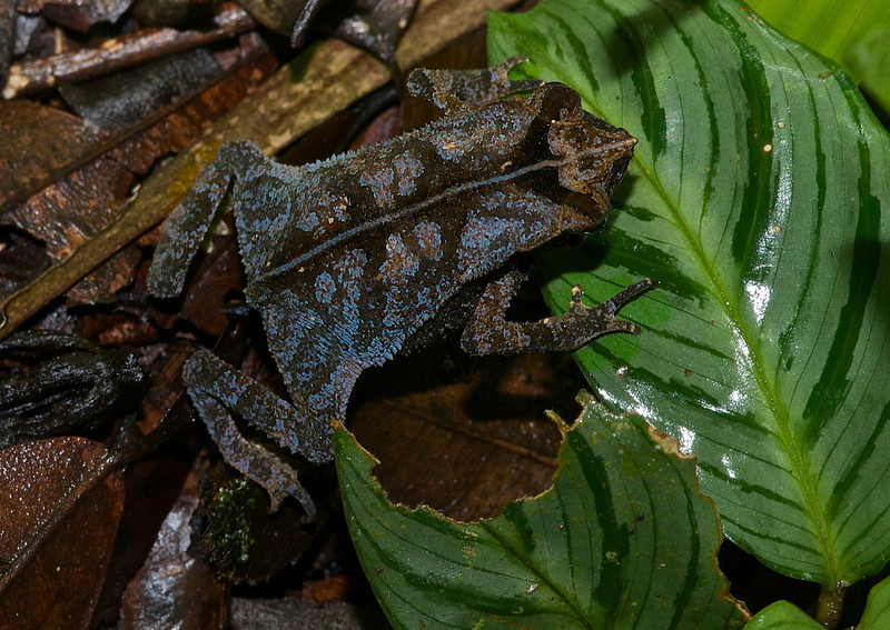 Sharp-Nosed Toad (Bufo dapsilis)
