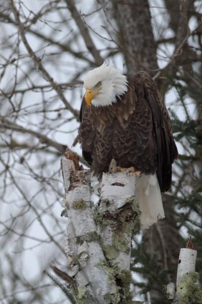 Bald Eagle CR47 Sax-Zim Bog MN IMG_2886.jpg