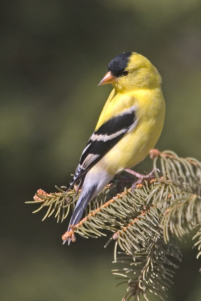 Goldfinch - American - male - Itasca County, MN