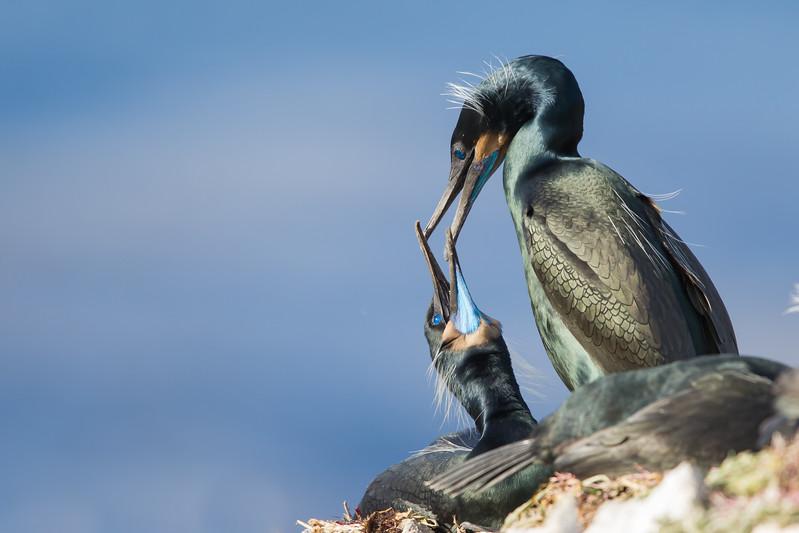 Brandt's Cormorant in breeding plumage - Point Lobos, Carmel, CA, USA