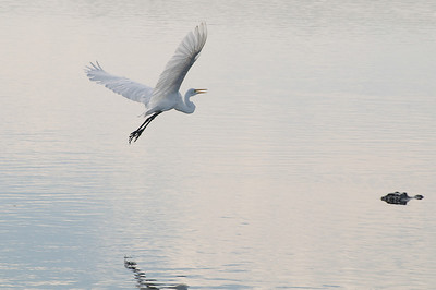 Great egret in flight with alligator.