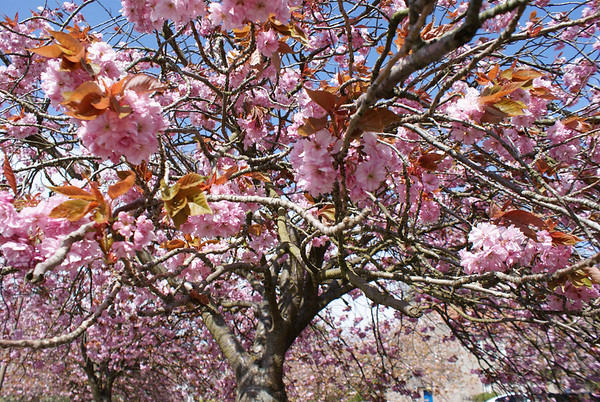 Dollar and Cherry Blossoms
