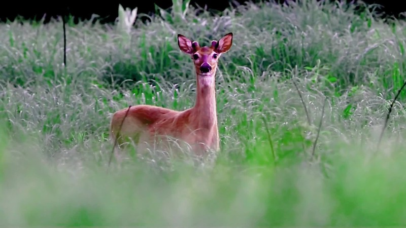 Deer10.mp4