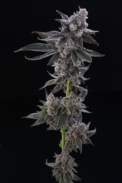 Flowersmithllc 06-10-20 Gorilla Butter