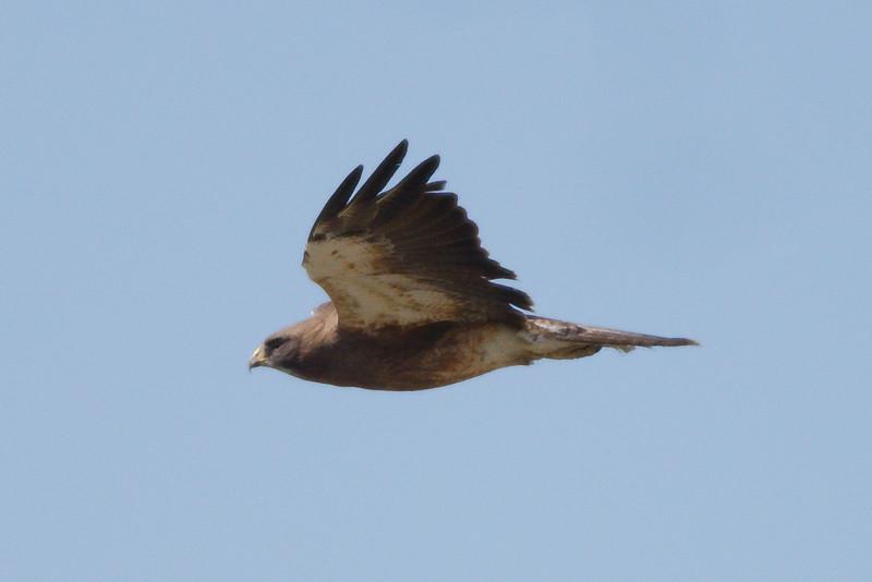 Swainson's Hawk intermediate morph adult (3) at Firebaugh, CA (07-18-2009)