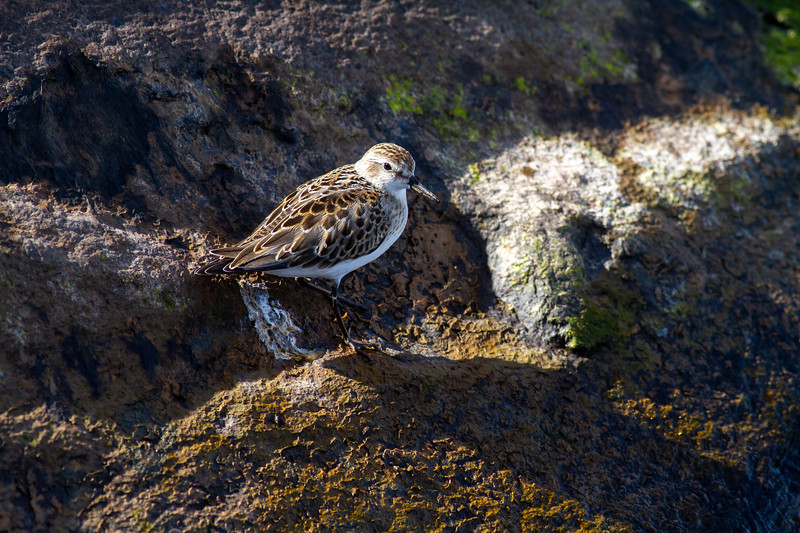 Semipalmated Sandpiper Wisconsin Point Lake Superior Superior Wisconsin IMG_1132.jpg