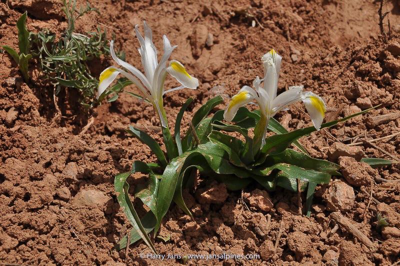 Iris vicaria