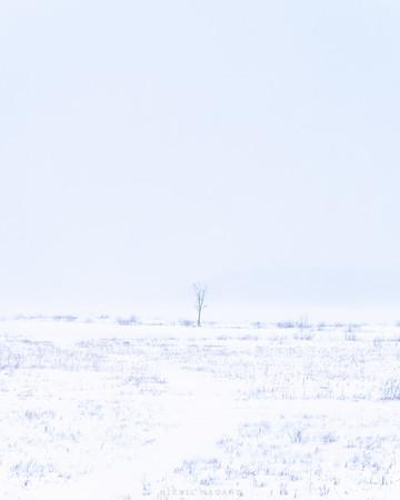 Lone tree in an Adirondack snowstorm