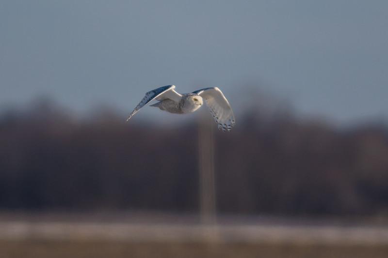 A Snowy Owl in Tippecanoe County, Indiana