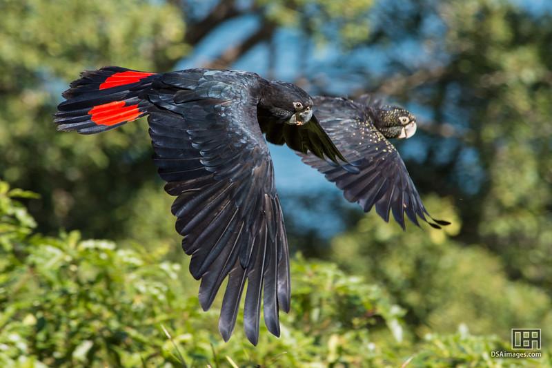 Members of the Taronga Zoo free flight bird show