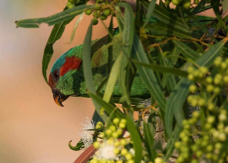 Cronulla parrots 6.jpg