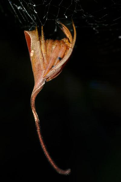 Ganesha-Spider-2.jpg