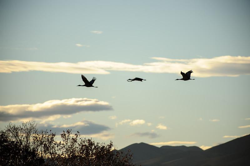 20111124 Bosque del Apache 101.jpg
