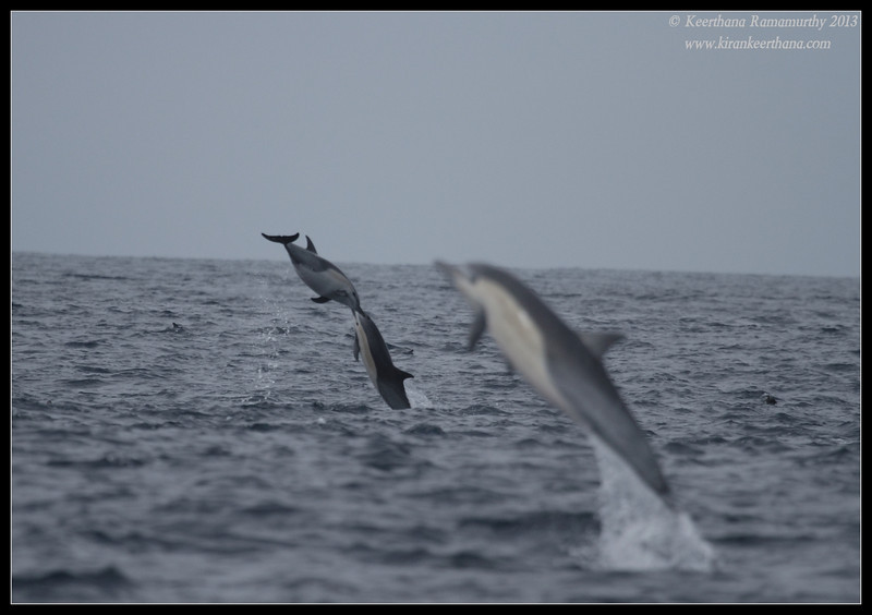 while I was focusing on the far off ones this out of focus jumped very close to the boat, Common Dolphin, Whale Watching trip, San Diego County, California, September 2013