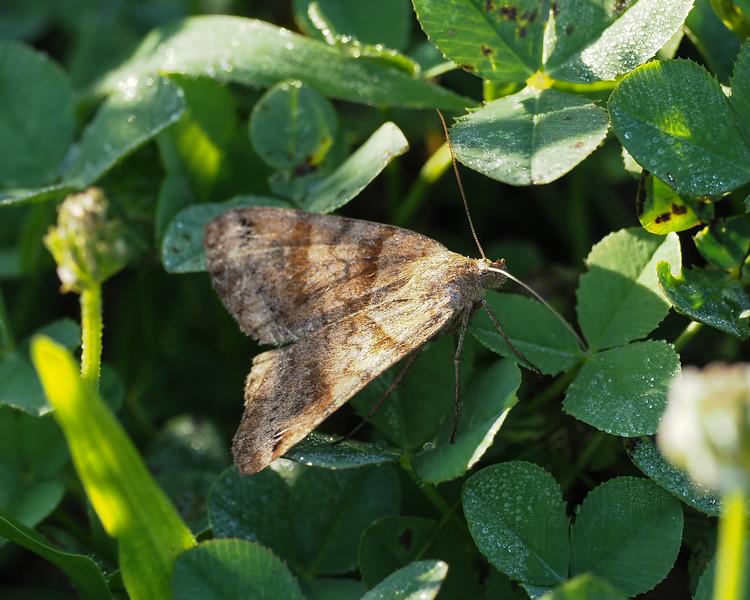Ambiguous Moth - 8393  ?