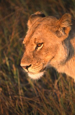 Female Lion 1