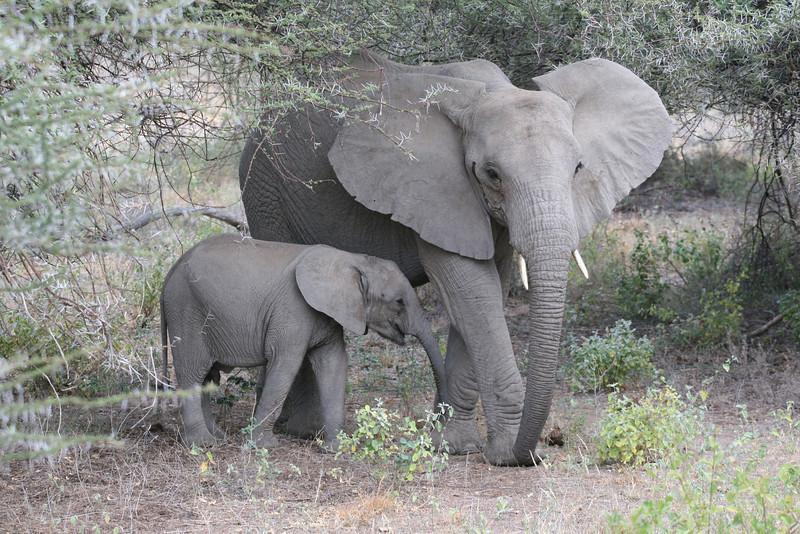 Elephant Baby after Nursing RCC180.jpg