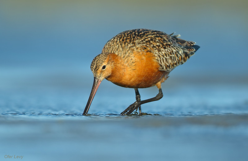 Bar-tailed Godwit 8.jpg