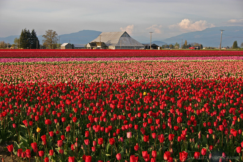 The tulip fields were in full bloom this year.