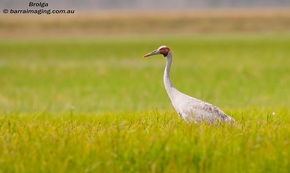 CranesFamily Gruidae