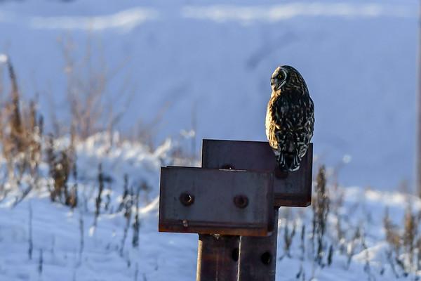 1-21-19 Short-eared Owl