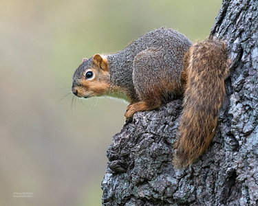 Squirrels (Sciuridae)