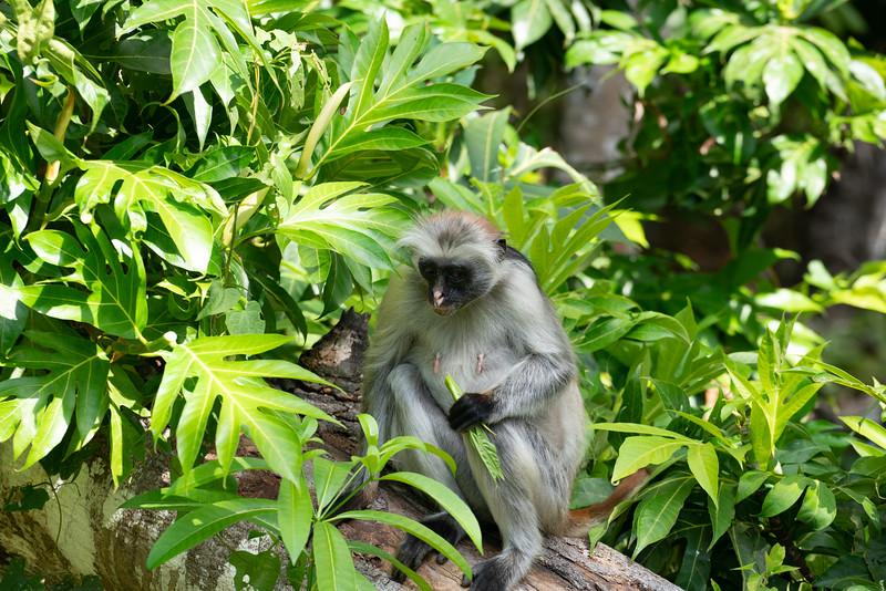 Female Colobus monkey
