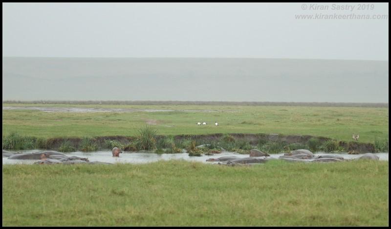 Hippopotamus scape, Ngorongoro Crater, Ngorongoro Conservation Area, Tanzania, November 2019
