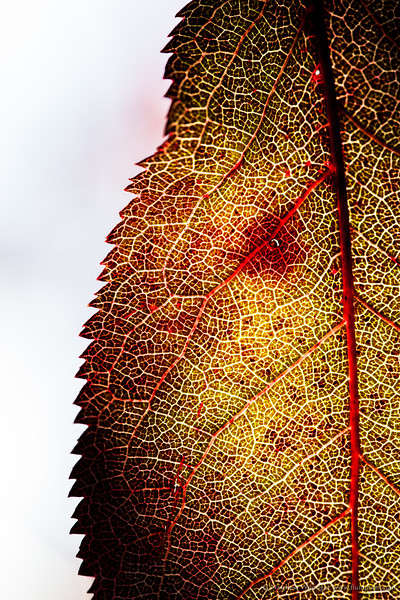 Woodget-140928-041--autumn, back lit, cellulose, leaf, macro, macro photography, nature, peaceful, red.jpg