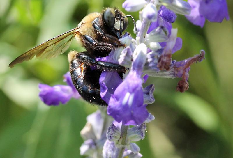Bumble bee 25
