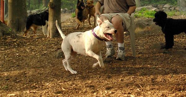 july 1 resize::POWDER (white pitbull girl)