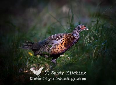 Wiltshire Pheasants Sept 2014