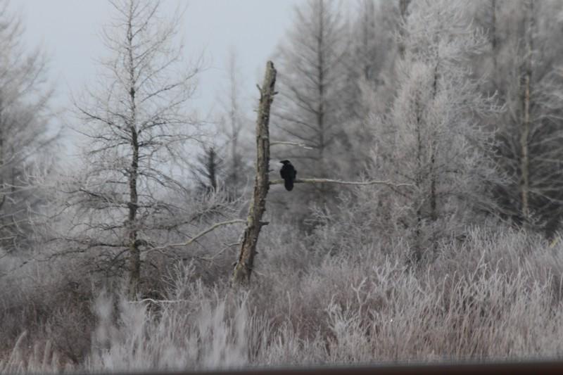 Common Raven CR7 heat shimmer through from open car window Sax-Zim Bog IMG_0073163.jpg