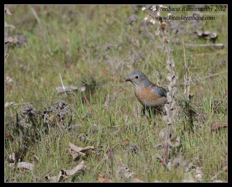 Western Bluebird female, Lake Jennings, San Diego County, California, January 2012