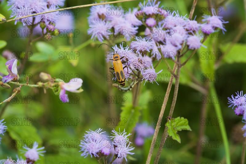 Pennsylvania Leatherwing Beetle