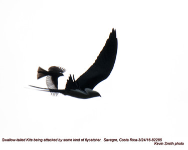 Swallow-tailed Kite plus attacker 82285.jpg