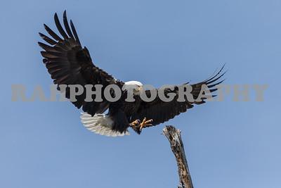 Eagles and Raptors