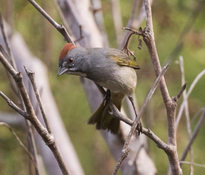 Green-tailed Towhee Carlsbad 2018 10 04-1.CR2
