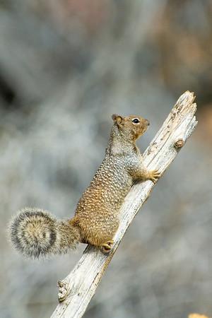 Rock Squirrel - Santa Fe, NM