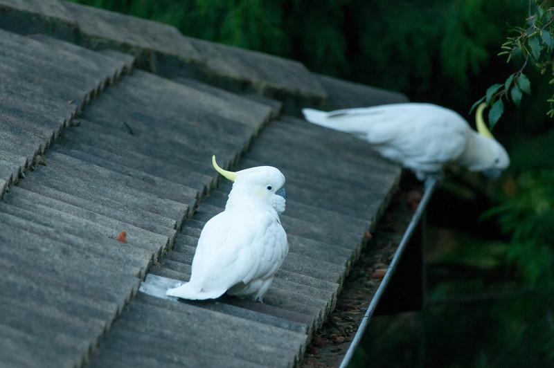 Sulphur-crested Cockatoo's