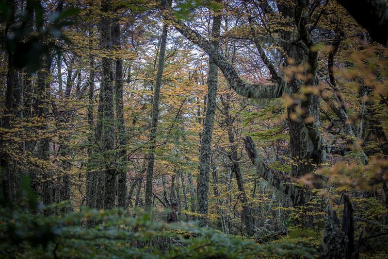 Lenga Forest, Moreno Glaciar -2.jpg