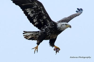Bresler Immature Eagle