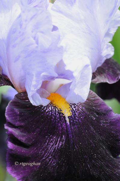 Bearded Iris Habit