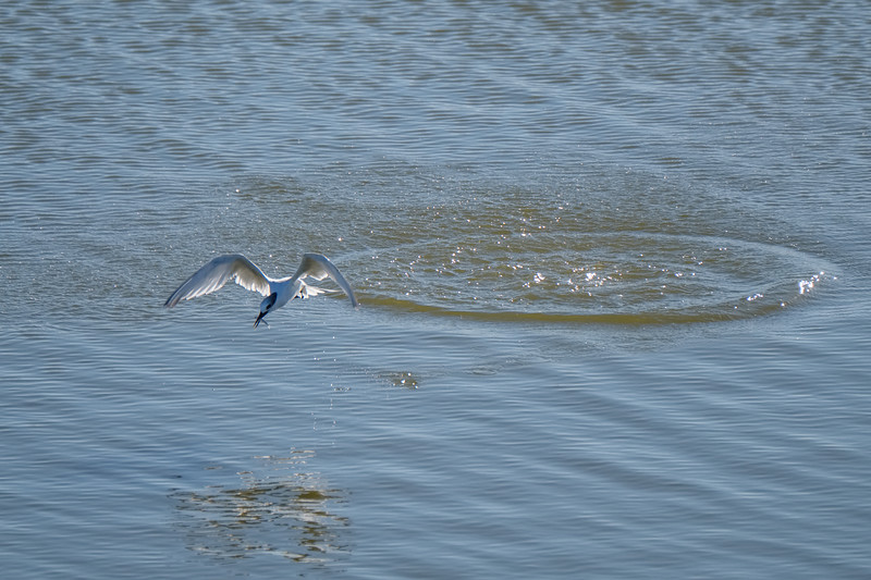 rybitwa czubata | sandwich tern | thalasseus sandvicensis