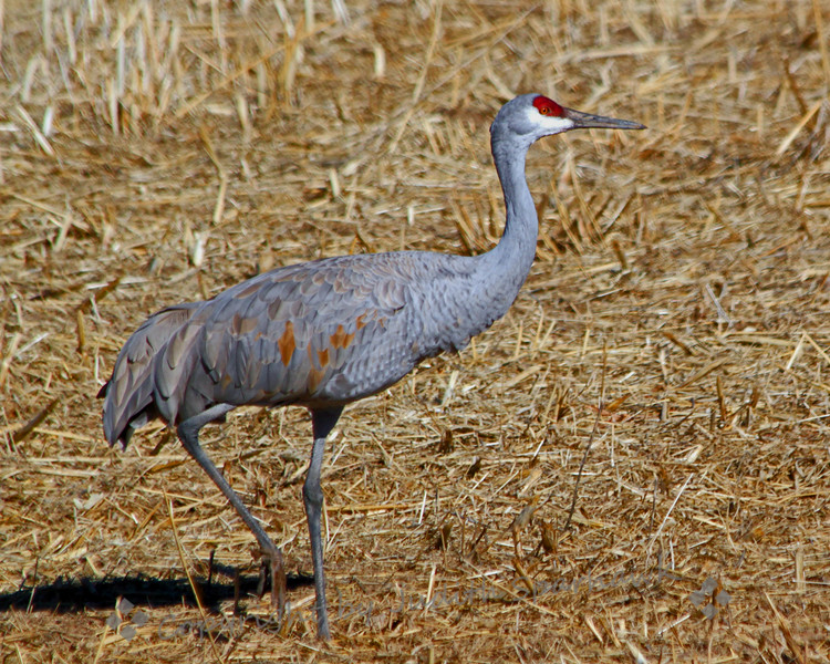 Sandhill Crane ~ Back from a January New Mexico trip, including a day at Bosque del Apache.  Enjoyed seeing the numerous Sandhill Cranes, and photographing a few.  I loved their melodious call as they fly and communicate with each other.