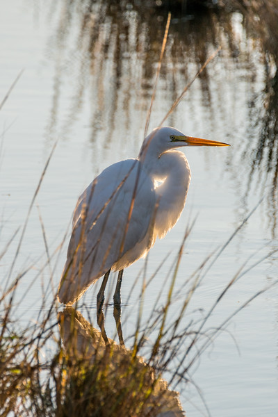 Beatiful Great Egret
