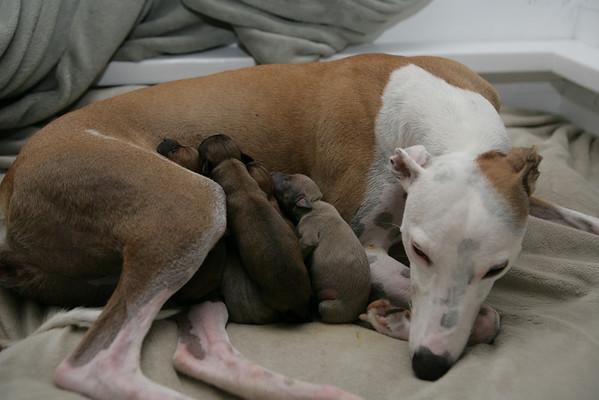 Gabi x Peanut Puppies 11-18-2008
