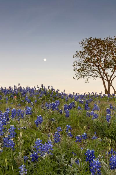 Texas Bluebonnets 2021
