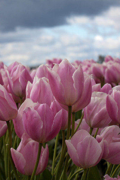 Mt.Vernon, WA - Tulip Fields