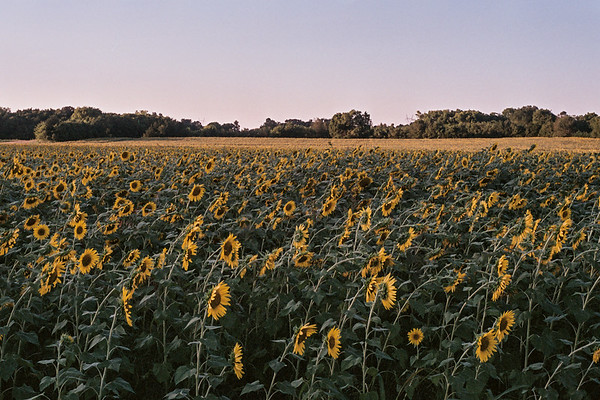 sunflower6